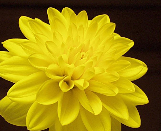 yellow dahlia flower - photo #2